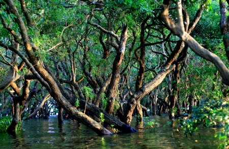Flooded forest of mangrove trees at Kompong Phluk, near Siem Reap, Cambodia