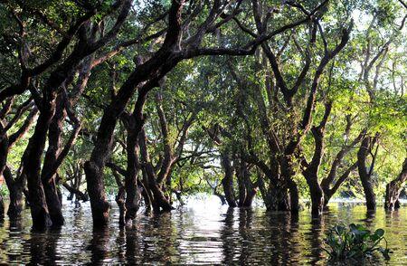 rio amazonas: Bosque inundado de árboles de mangle en Kompong Phluk, cerca de Siem Reap, Camboya Foto de archivo