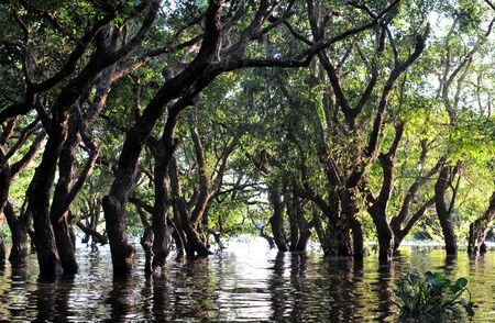 amazon river: Flooded forest of mangrove trees at Kompong Phluk, near Siem Reap, Cambodia