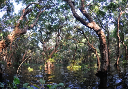 sap: Flooded forest of mangrove trees at Kompong Phluk, near Siem Reap, Cambodia