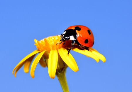 ladybug on a yellow flower photo