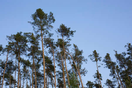 respire: Trees in the forest with the blue sky Stock Photo