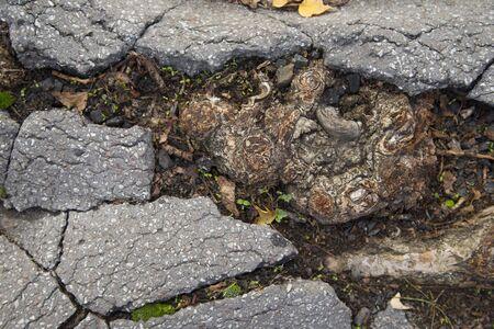 cracked concrete: Cracked asphalt, root