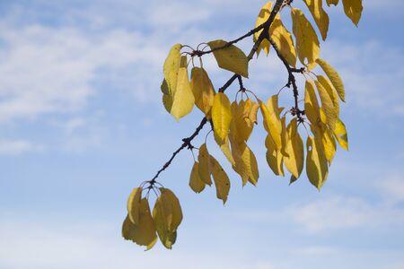 Yellow leaves on a branch, season, autumn Stock Photo
