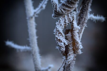 hoarfrost: Frozen plant with a rime on leaves, winter, january Stock Photo