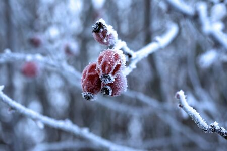 Frozen rose hips with rime, winter, snow