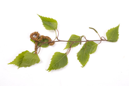 Small branch of a birch tree with catkin, allergy