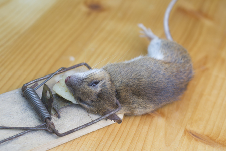 Dead mouse in an old wooden mousetrap Stock Photo