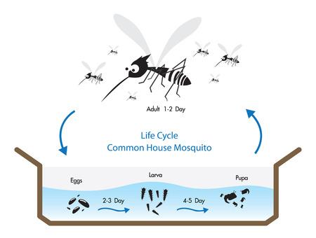ライフ サイクル一般的な家蚊ベクトル