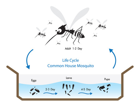 dengue: Life Cycle Common House Mosquito Vecto
