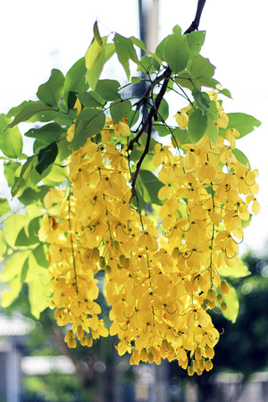 drumstick tree: golden shower bloom in summer Stock Photo