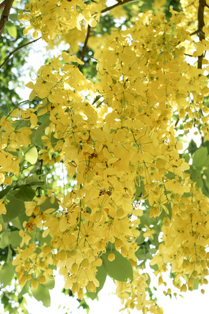 the drumstick tree: golden shower bloom in summer Stock Photo