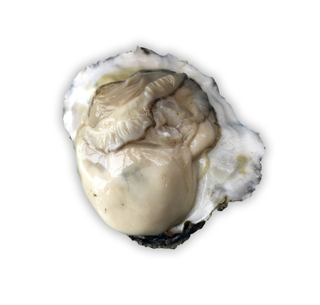 oyster shell: oyster shell isolated and white background