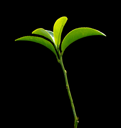 Green tea with black background