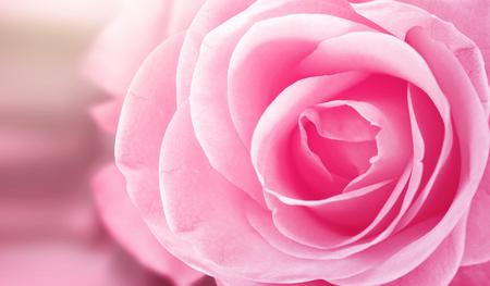 Pink Rose bloem Stockfoto