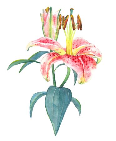 pink lily: Hand painted illustration of a pink lily. Colorful watercolor exotic flower, isolated on white background. Floral textile print. Template for greetinginvitation card. Stock Photo