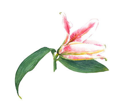 expanding: Hand painted expanding pink lily. Colorful watercolor illustration exotic flower, isolated on white background. Floral textile print. Template for greetinginvitation card. Element for your design.