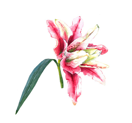 lily leaf: Hand painted pink double bloom lily. Colorful watercolor illustration exotic flower, isolated on white background. Floral textile print. Template for greetinginvitation card. Element for your design. Stock Photo
