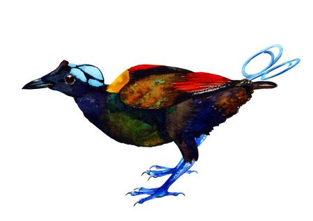 ave del paraiso: Ejemplo de la acuarela hecha a mano de Wilson ave del paraíso. Hermosos colores de aves exóticas de Oceanía. Aislado en el fondo blanco. Arte original.