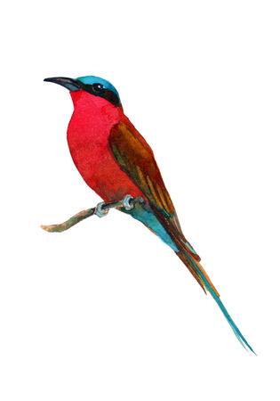 carmine: Handmade watercolor illustration of southern carmine bee-eater. Beautiful colors of exotic African singing bird. Isolated on white background. Original art.