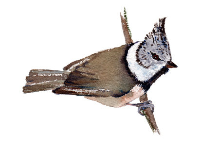 twit: Watercolor illustration of a European crested tit, isolated on white background. Original art.