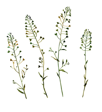 shepherds: Shepherds Purse. Handmade isolated watercolor floral motive on white background for your design.