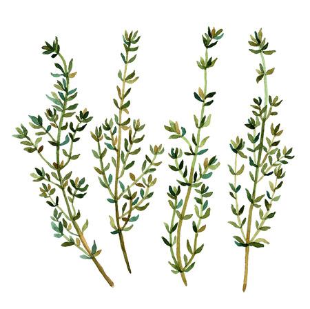 Le thym. Main aquarelle isolé motif floral sur fond blanc pour votre conception. Herbes vintage. Cuisine italienne. Fabric texture. Modèle pour scrapbook. Banque d'images - 47073530