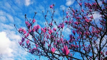magnolia tree: Magnolia blossom. Beautiful pink flowers of blooming magnolia tree against the skies.