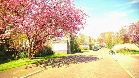 residential street: Blooming sakura trees in a residential street. Stock Photo