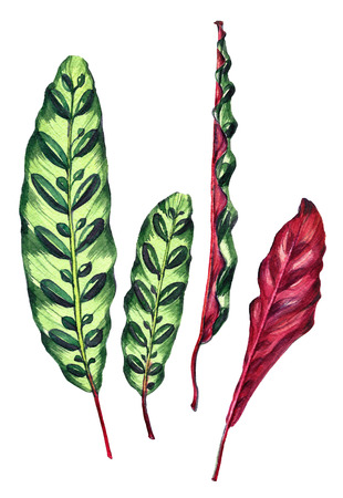 Set of four tropical leaves. Exotic Calathea Insignis plant. Handmade watercolor botanical illustration, isolated on white background. For your design. Stock Photo