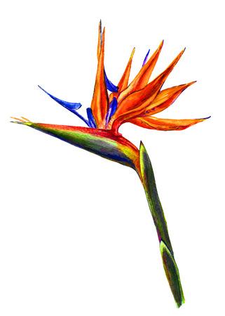 birds of paradise: Bird of paradise, exotic and tropical Strelitzia flower. Watercolor, very detailed botanical illustration. Isolated on white background. Stock Photo