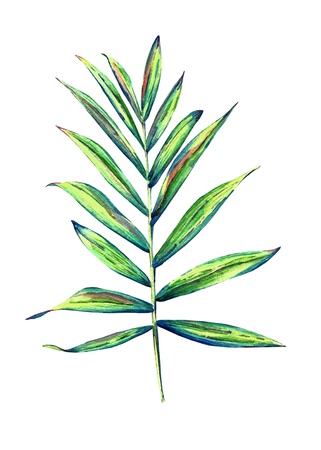 Hand painted watercolor parlour palm. Botanical illustration of chamaedorea elegans leaf, isolated on white background. 版權商用圖片