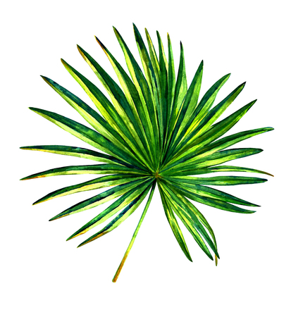 Hand painted watercolor palmetto tree. Botanical illustration of fan shaped palm leaf, isolated on white background. Stock Photo