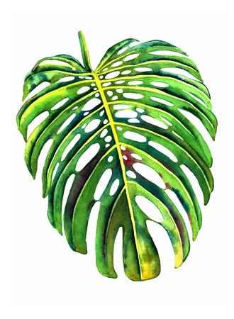botany: Hand painted watercolor monstera leaf. Botanical illustration, isolated on white background.