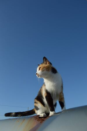 Calico cat looking somewhere in tropical Okinawa