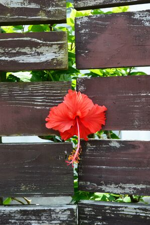 Hibiscus flower through the gap of wall