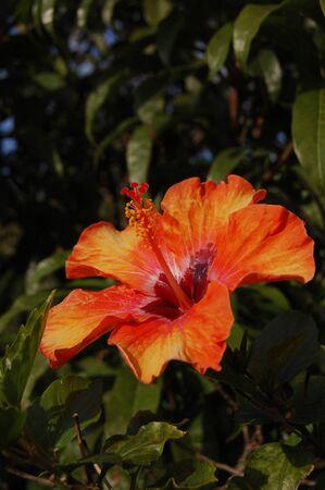 Red, yellow and orange gradient hibiscus Zdjęcie Seryjne