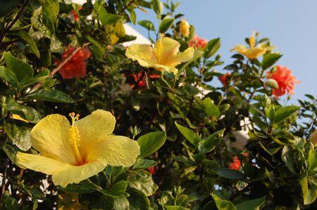 Yellow hibiscus and red flower Zdjęcie Seryjne