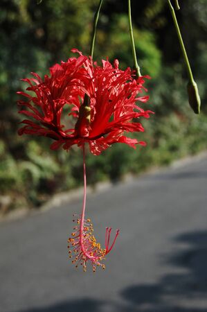 Red hibiscus in southern Okinawa
