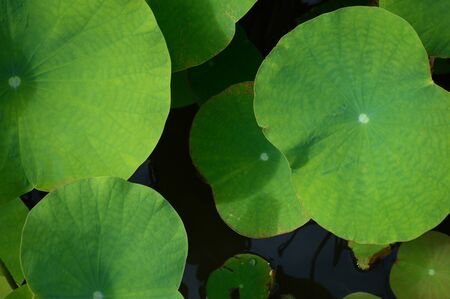 Lotus leaves floating on the water Banque d'images - 132116312