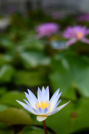 Water lily flower blooming in white Banque d'images - 132116464