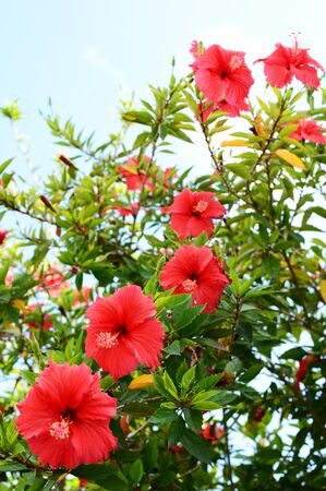 Hibiscus flowers are blooming side by side in southern Okinawa