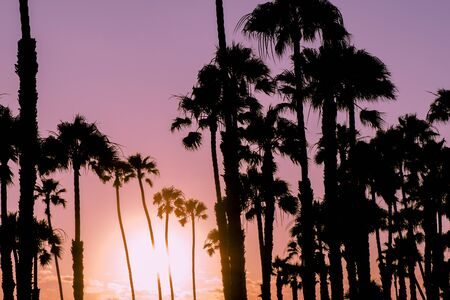 palmy: California palm trees