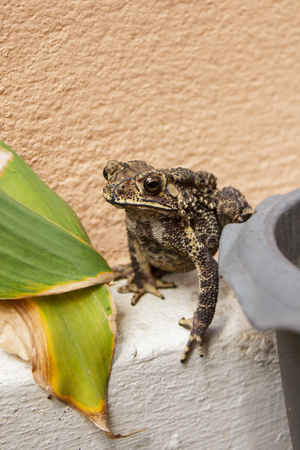 thailand common toad in the garden. photo