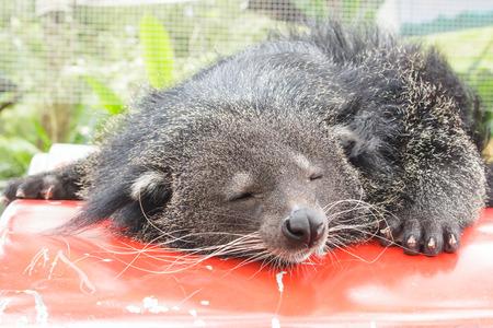 bearcat: close-up of a binturong or bearcat.