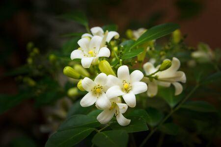 jessamine: fiori d'arancio Jessamine nel giardino, Thailandia. Archivio Fotografico
