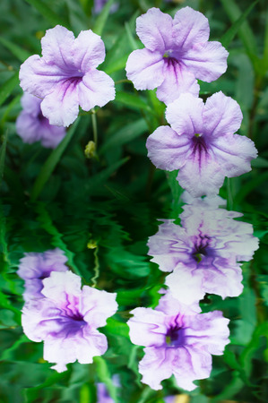 ting: Purple flowers or Ruellia tuberosa Linn, Waterkanon, Watrakanu, Minnieroot, Iron root, Feverroot, Popping pod, Toi ting (thai name). Stock Photo