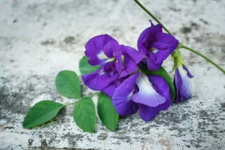 pea shrub: Butterfly pea flower medicinal herbs to treat disease.