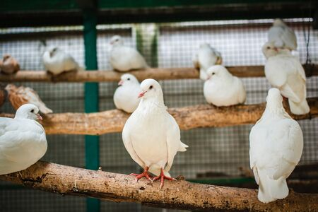 pigeons: White pigeons in a cage. Stock Photo