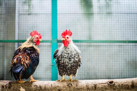 granja avicola: Pollos en una jaula, Gallina en granja de aves de corral. Foto de archivo